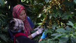 Girl learning with mom. Agriculturist hands Harvesting Yellow fresh Ripe Arabica an organic coffee berries beans.