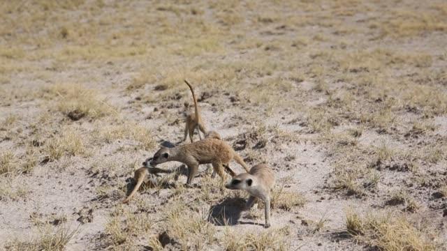 vídeos y material grabado en eventos de stock de girl looking at meerkats - desierto del kalahari