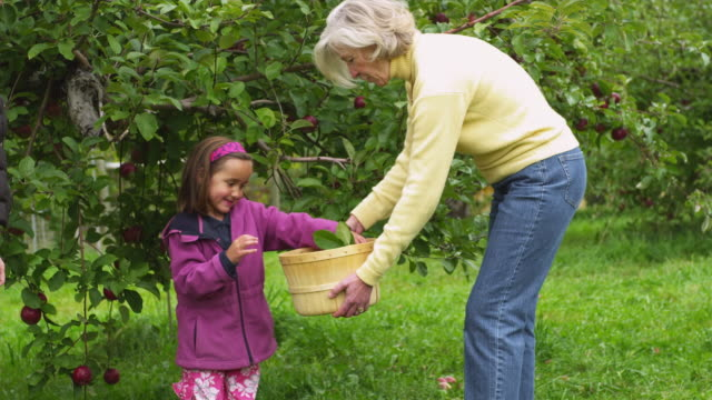 vídeos de stock, filmes e b-roll de ms pan girl (4-5) picking apples and putting them in basket held by grandmother in orchard, manchester, vermont, usa - pomar
