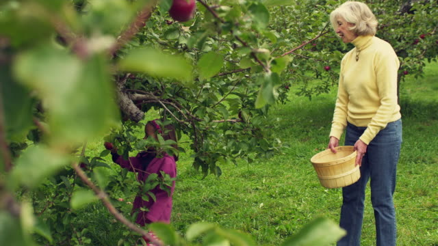 ms selective focus girl (4-5) picking apples and putting them in basket held by grandmother in orchard, manchester, vermont, usa - apple fruit stock videos & royalty-free footage