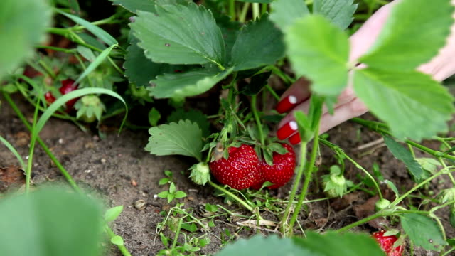 girl picking strawberries - red nail polish stock videos and b-roll footage