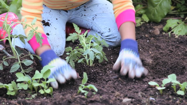 CU Girl (8-9) planting tomato plant in garden, low section, Richmond, Virginia, USA