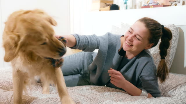 girl playing with her golden retriever dog indoors - golden retriever stock videos and b-roll footage