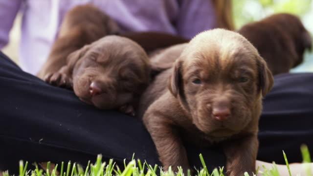 vídeos de stock, filmes e b-roll de cu girl (10-11) sitting on grass with puppies on lap / sunderland, vermont, usa - grupo mediano de animales