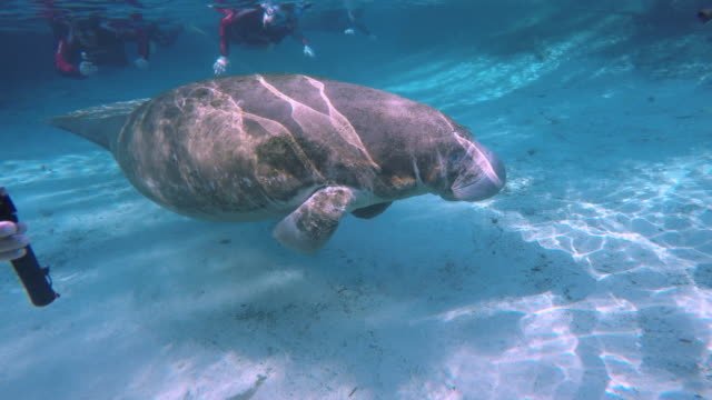 stockvideo's en b-roll-footage met girl touch the swimming manatee - lamantijn