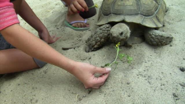 MS, ZI, CU, Girls (6-7) feeding flowers to tortoise in sand pit, Richmond, California, USA