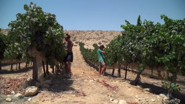 girls in grape harvest - israel stock videos & royalty-free footage