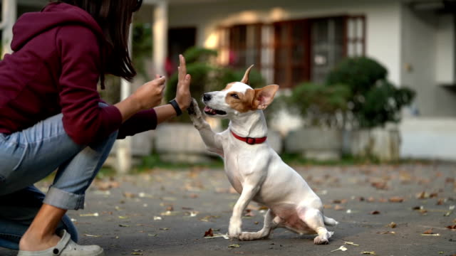 slomo sa jrt giving high-five for treat - happiness stock videos & royalty-free footage