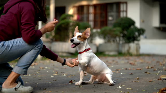 slomo sa jrt giving paws for treat - jack russell terrier stock videos & royalty-free footage
