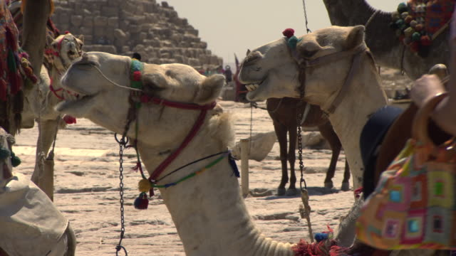 giza pyramids - camels chewing with pyramids in background - ägypten stock-videos und b-roll-filmmaterial