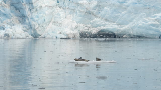 vidéos et rushes de glacier and sea lions resting on iceberg in alaska - lion de mer