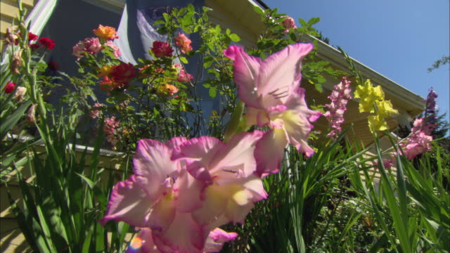 cu la gladiolas and roses growing in front of house / portland, oregon, usa - グラジオラス点の映像素材/bロール
