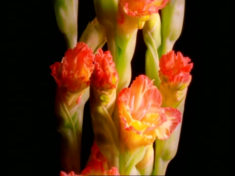 t/l gladioli flowers - budding stem opening to frilly orange and yellow flowers, black background, flowers start to wither - gladiolus stock videos & royalty-free footage