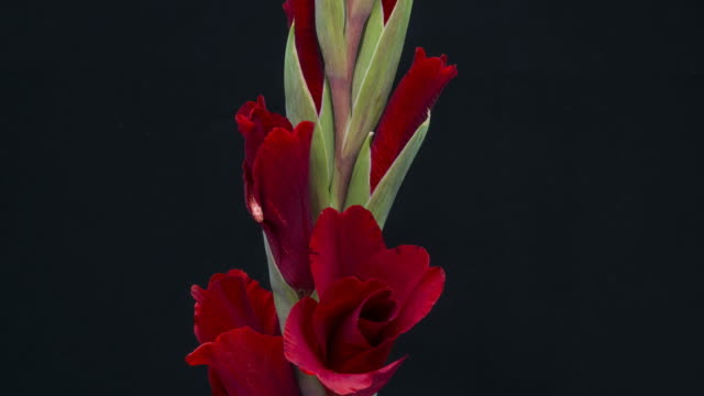 gladiolus blooming - gladiolus stock videos & royalty-free footage