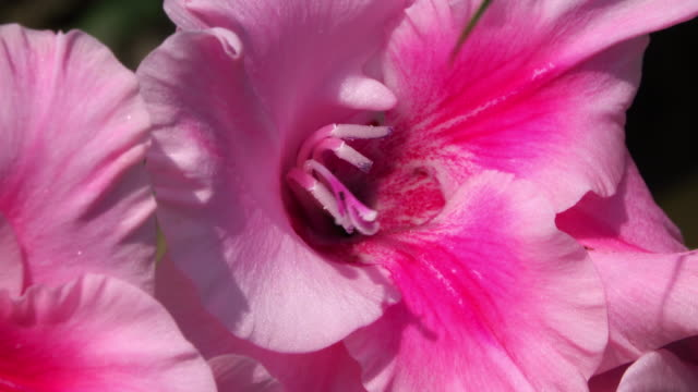 gladiolus close up - gladiolus stock videos & royalty-free footage