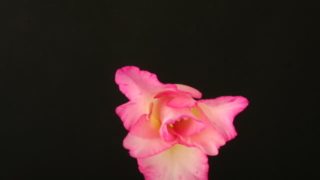 gladiolus closing, black background, timelapse reversed. - gladiolus stock videos & royalty-free footage