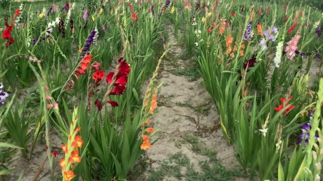 vídeos de stock e filmes b-roll de gladiolus field - gladiolus