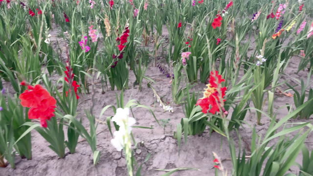 gladiolus field - gladiolus stock videos & royalty-free footage