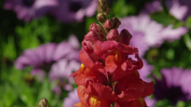 gladiolus flower in the wind - gladiolus stock videos & royalty-free footage
