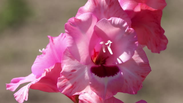 gladiolus in bloom - gladiolus stock videos & royalty-free footage