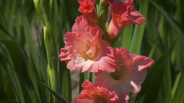gladiolus - gladiolus stock videos & royalty-free footage