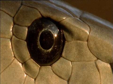 glaring eye of black mamba, south africa - scaly stock videos and b-roll footage