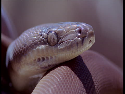 glaring eyes of water python resting on branch - brown stock videos & royalty-free footage