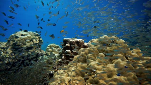 glass fish aka pygmy sweeper (parapriacanthus ransonneti) on coral reef fragile ecosystem ocean environment.  koh haa, krabi, thailand. - glass fish stock videos & royalty-free footage