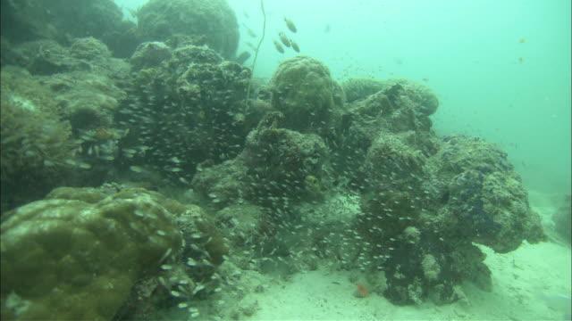 glass fish and coral, kapalai, sipadan, borneo - glass fish stock videos & royalty-free footage