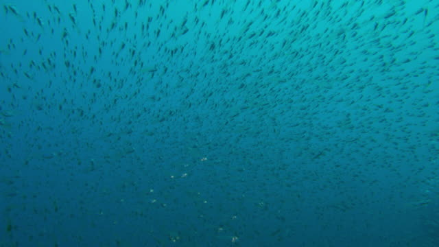 glass fish schooling below sea surface, taiwan - glass fish stock videos & royalty-free footage