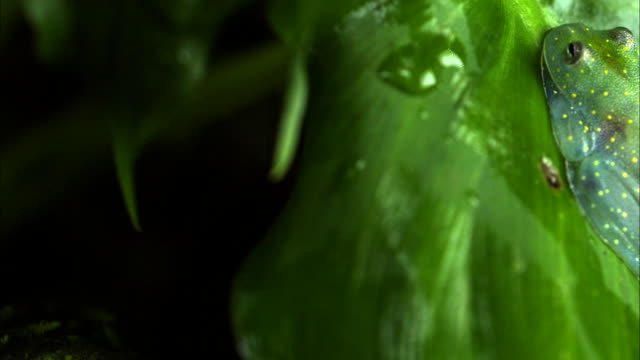 a glass frog clings to a leaf. - tarnung stock-videos und b-roll-filmmaterial