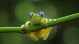 Glass frog in its natural habitat in the Caribbean forest