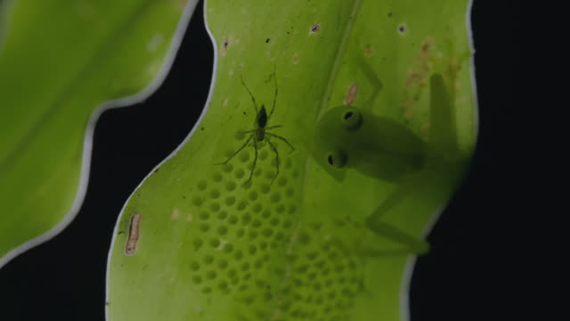 MS Glass frog on leaf defending eggs from spider against black background / Panama City, Panama