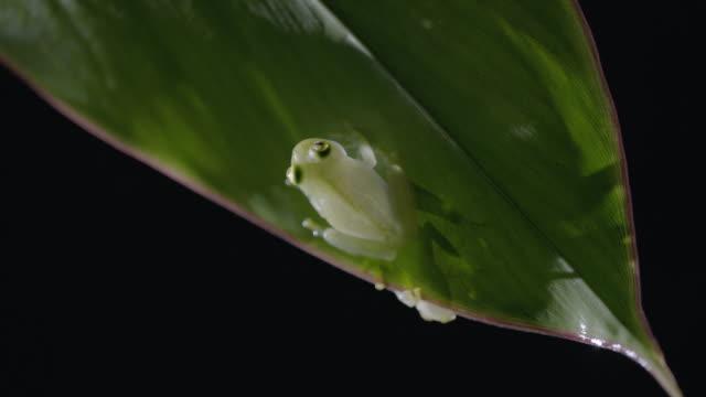 CU Glass frog sitting on leaf / Panama City, Panama