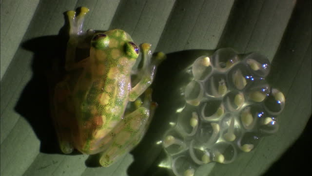 Glass frog (Hyalinobatrachium valerioi) with eggs and tadpoles on leaf, Costa Rica