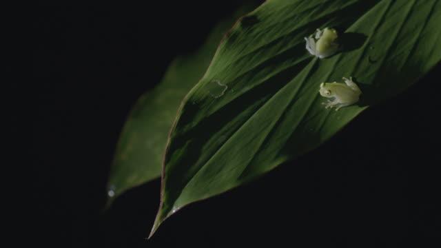 MS Glass frogs sitting on leaf / Panama City, Panama