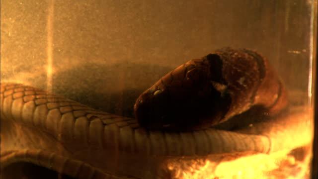 vídeos de stock e filmes b-roll de a glass jar holds a dead cobra. - porta amostra