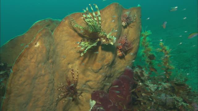 vídeos y material grabado en eventos de stock de glassfish, and lionfish on sponge, to. indonesia  - rascacio