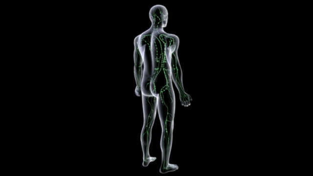 a glass-like transparent model of the male body, containing the lymphatic system, rotates 360 degrees as the camera pans down.  the camera then zooms in on the torso. - lymphatic system stock videos & royalty-free footage