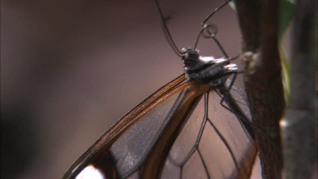 glasswing butterflies in a forest on top of auyantepui in guiana highlands - tierflügel stock-videos und b-roll-filmmaterial