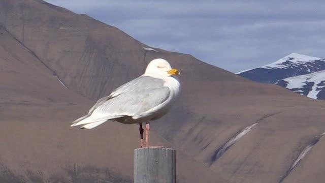 Glaucous Gull, Alkefjellet bird cliffs, Svalbard, Norway