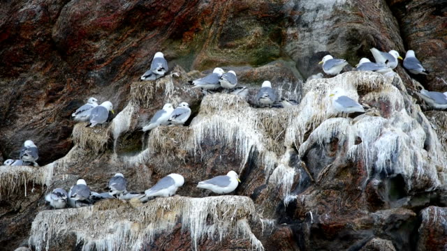 glaucous gull attacks little auk's nesting colony - auk stock videos & royalty-free footage