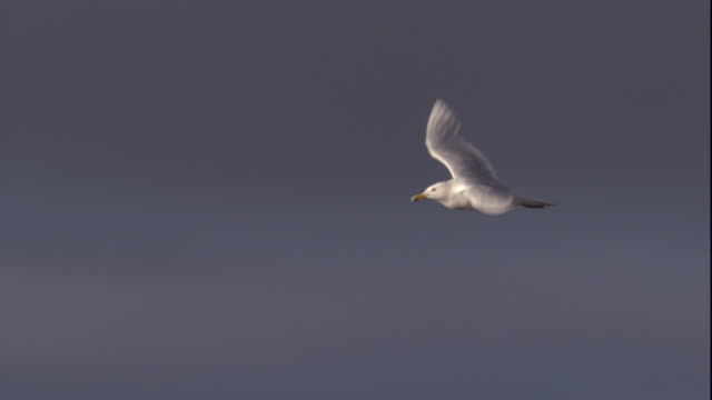 stockvideo's en b-roll-footage met glaucous gull flies over the tundra. available in hd. - meeuw