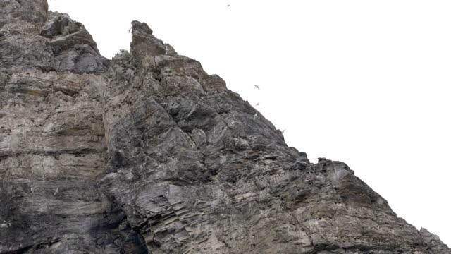 Glaucous gull- nesting colony, Svalbard Norway