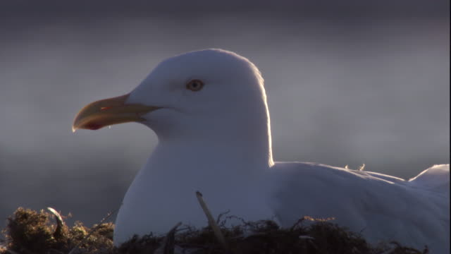 Glaucous Gull nests on tundra in the Canadian Arctic. Available in HD