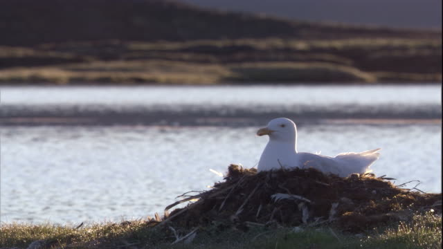A Glaucous Gull nests on tundra near a lake in the Canadian Arctic. Available in HD