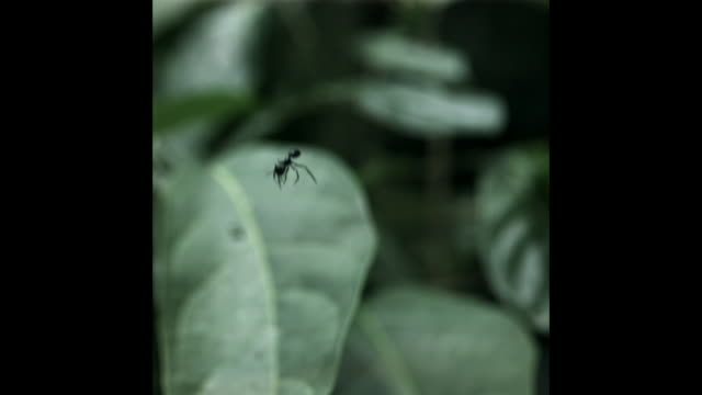 A gliding ant falls past foliage in a tropical forest. Available in HD.