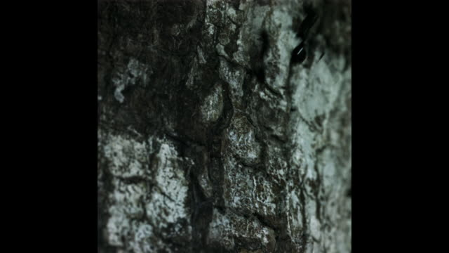 A gliding ant lands on a tree trunk. Available in HD.