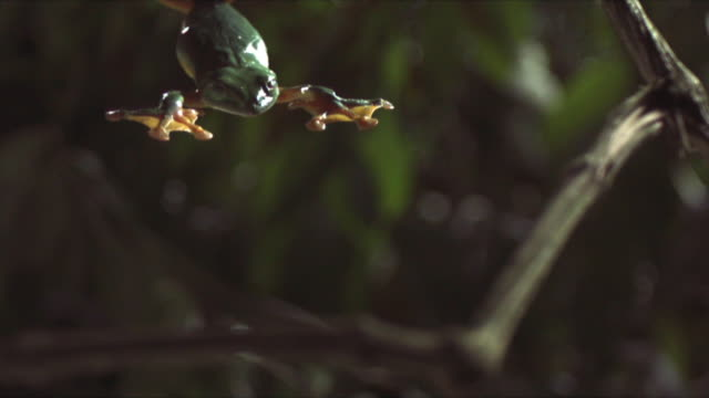 a gliding leaf frog falls splay-legged past leaves and branches. available in hd. - limb body part stock videos & royalty-free footage