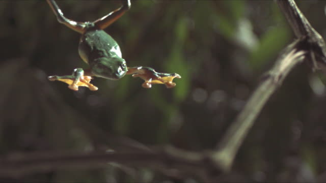 A gliding leaf frog falls splay-legged past leaves and branches. Available in HD.